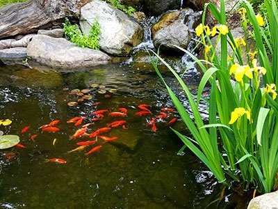 Small water pond with stone rocks, koi fish, green plants around, and clean water.